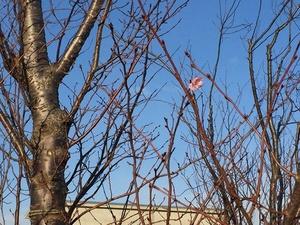 あわてんぼうの桜.jpg