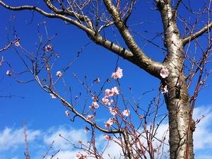 桜が開花?.jpg