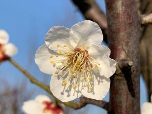 白梅の花.JPG